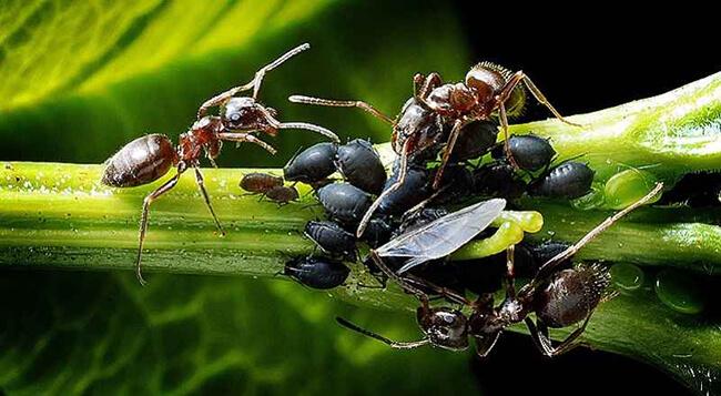 С детской присыпкой забыла про муравьев, жуков и тлю в саду.